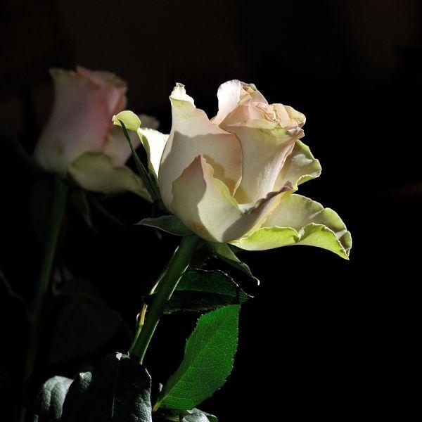 Une rose sous la lumière