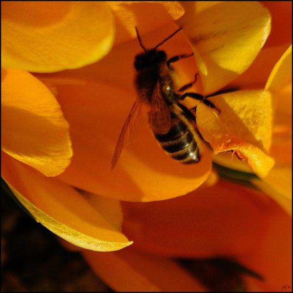 Une abeille butine dans une fleur