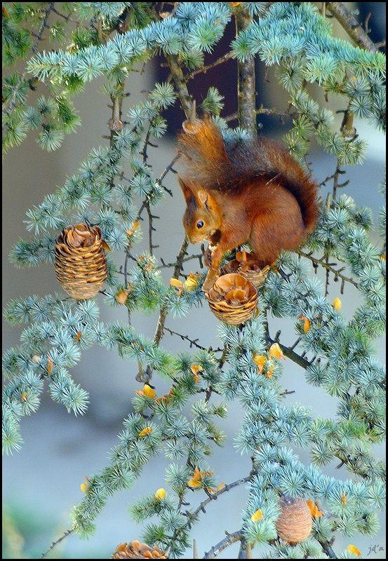 Un écureuil mange des fruits du cèdre
