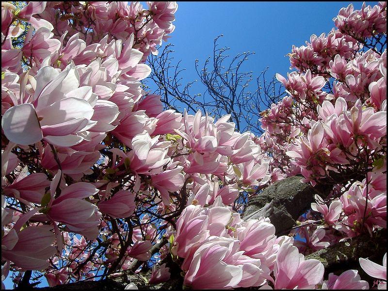 Des fleurs de magnolia à profusion