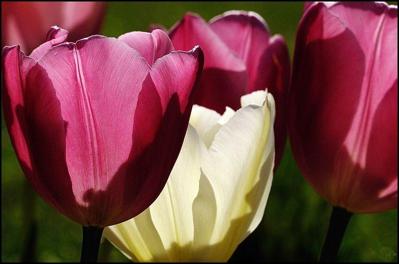 Des tulipes en très gros plan