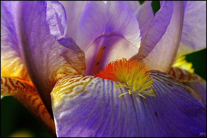 Une macro d'une fleur d'iris