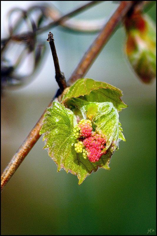 Macro sur une fleur de vigne