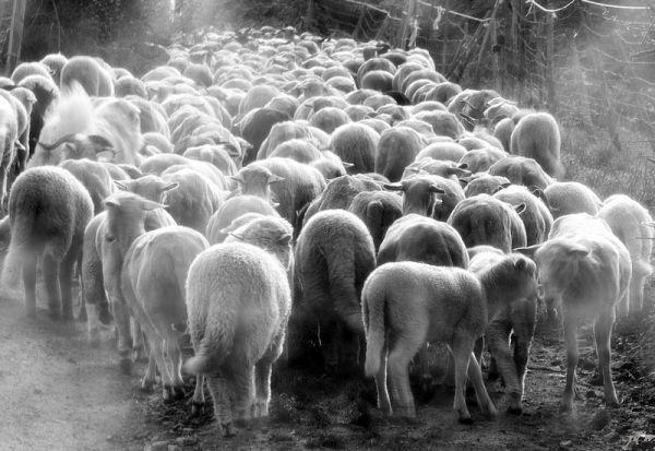 un troupeau de mouton