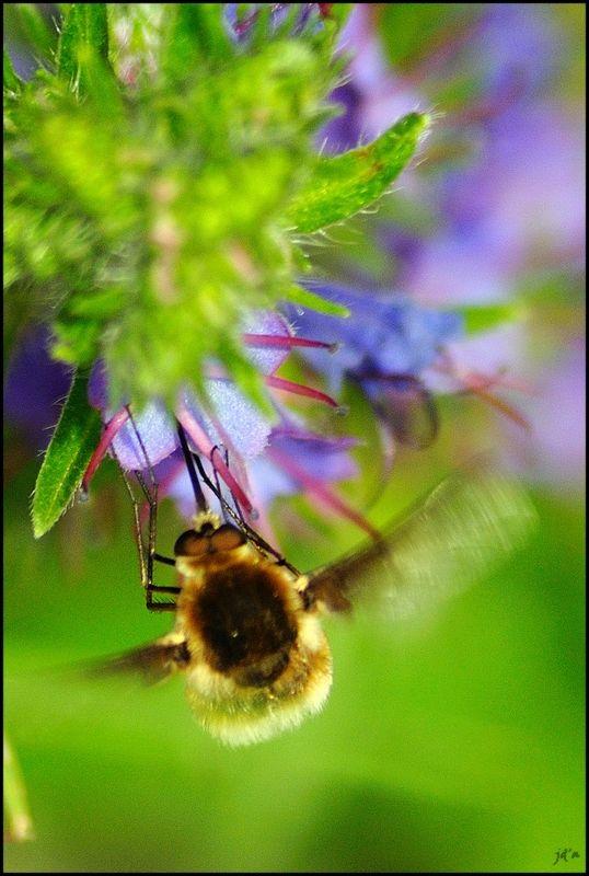 Un bourdon atterrissant sur une fleur