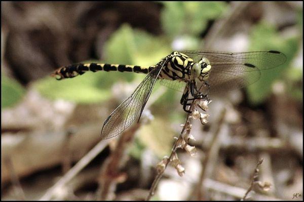 Une libellule au repos
