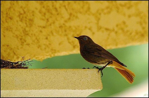 Une queue-rousse construisant so nid