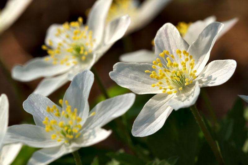 anémone des bois wood anemone