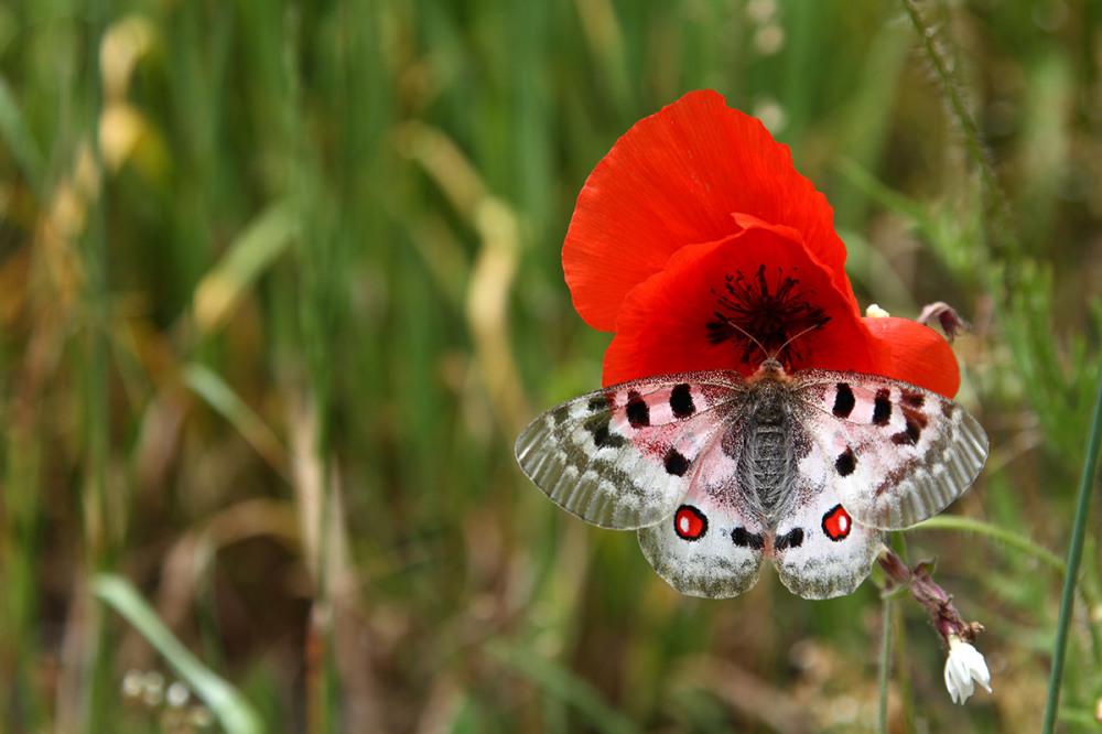 Apollo poppy Oyace AostaValley