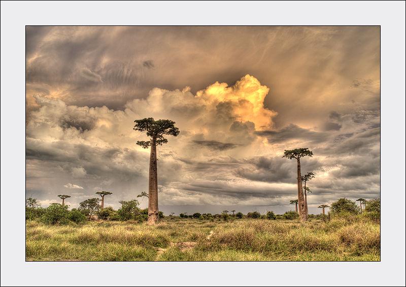 Baobab dans la campagne malgache avant l'orage