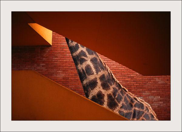 A giraffe in a stair