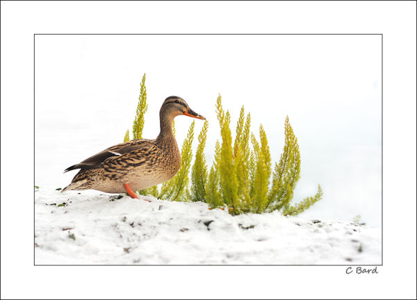 Happy New Year, says the snowduck