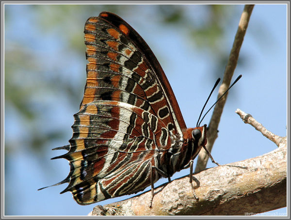 Charaxes jasius butterfly, Causse-de-la-Selle