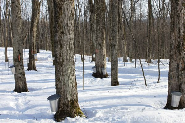Maple Sugar Bush