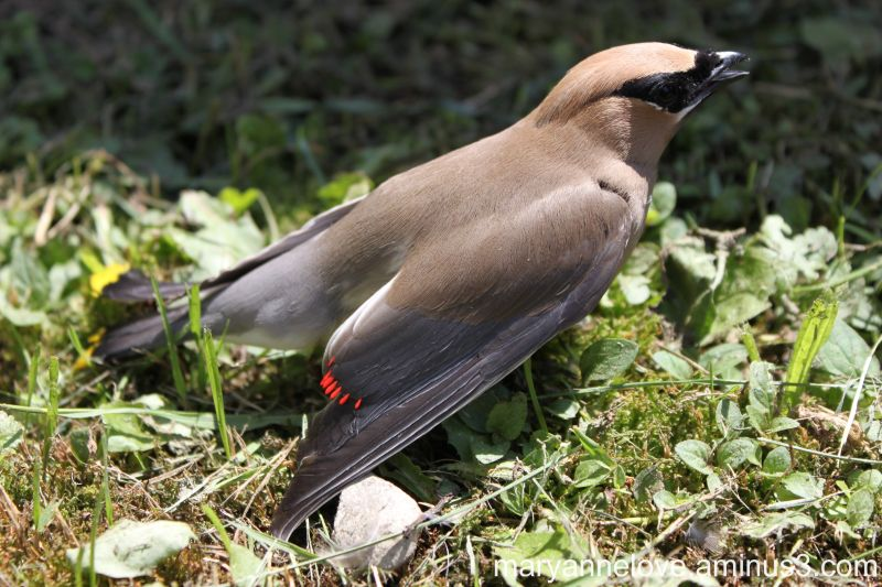Injured Cedar Waxwing