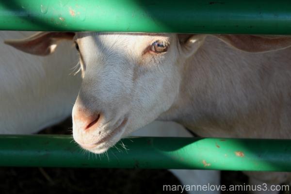Goat At The Fair