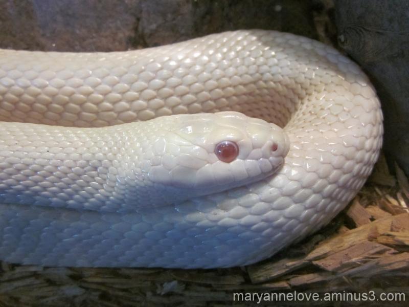 Albino Rat Snake