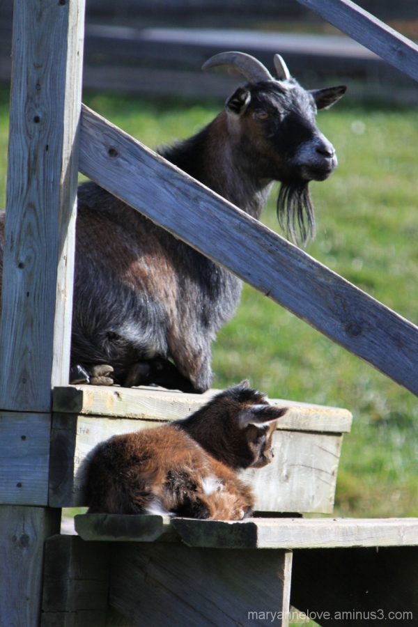 Goats In The Sunshine