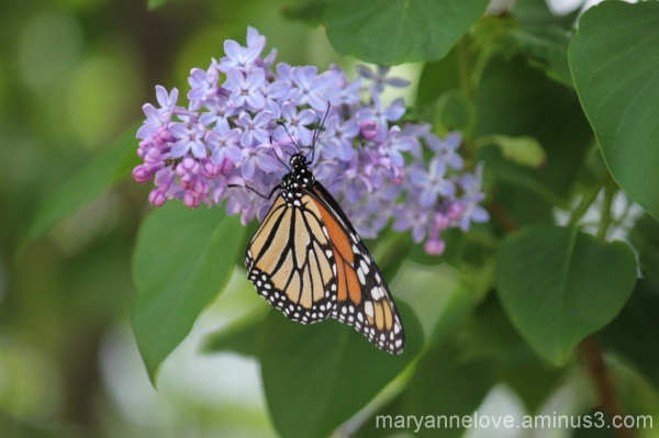 Monarch Butterfly and Lilacs
