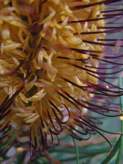 Banksia 3