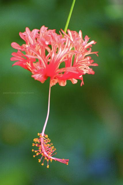 frilled hibiscus