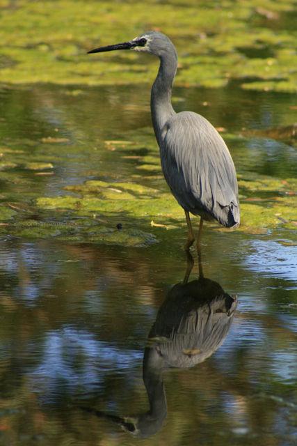 the heron hunts