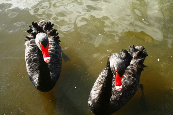 swans, burley griffin