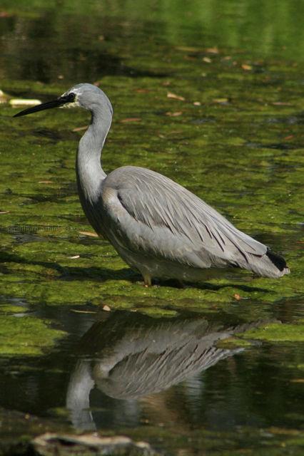 the heron hunts 3