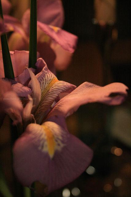 winter iris 2