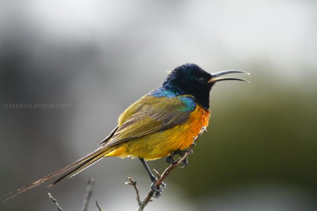 sunbird sings