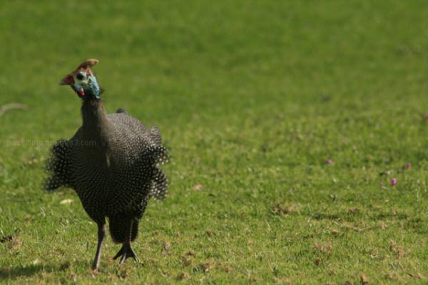 mad fowl