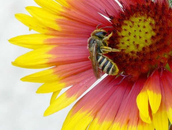 bee on gaillardia flower
