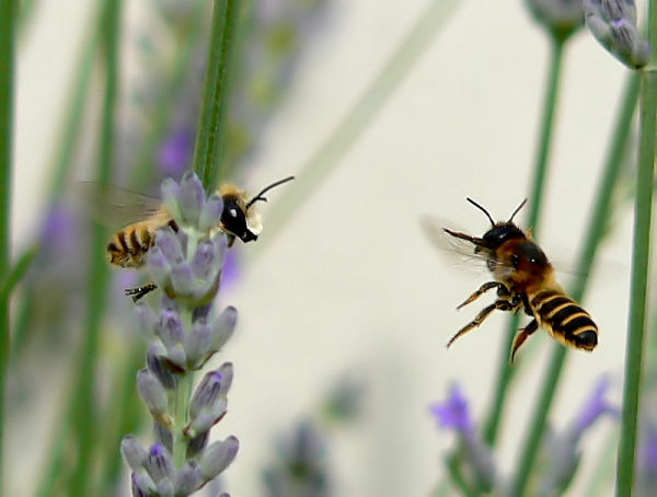 two bees meeting behing the lavander branch