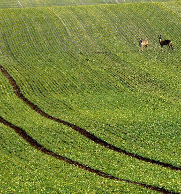 roe deers in a green field, champagne, France
