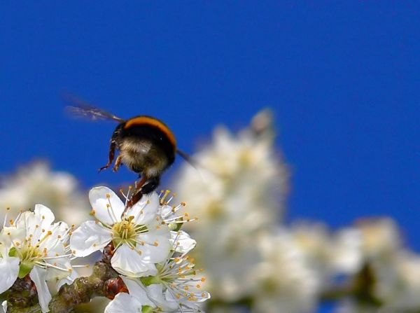 macro insect bumblebee flying blue sky champagne-a