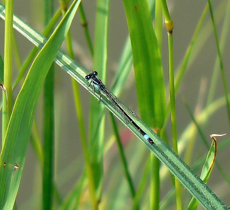 zygoptera macro