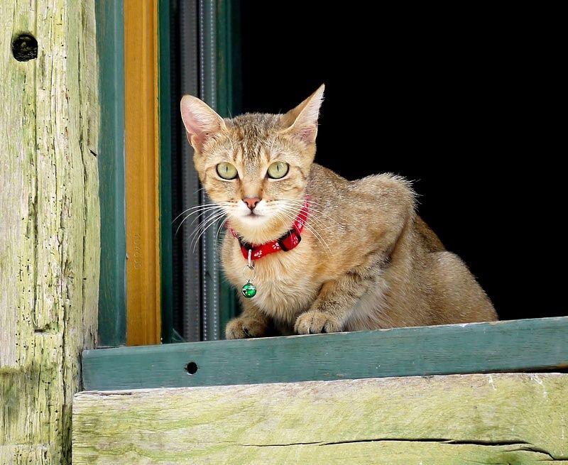 le chat de la voisine