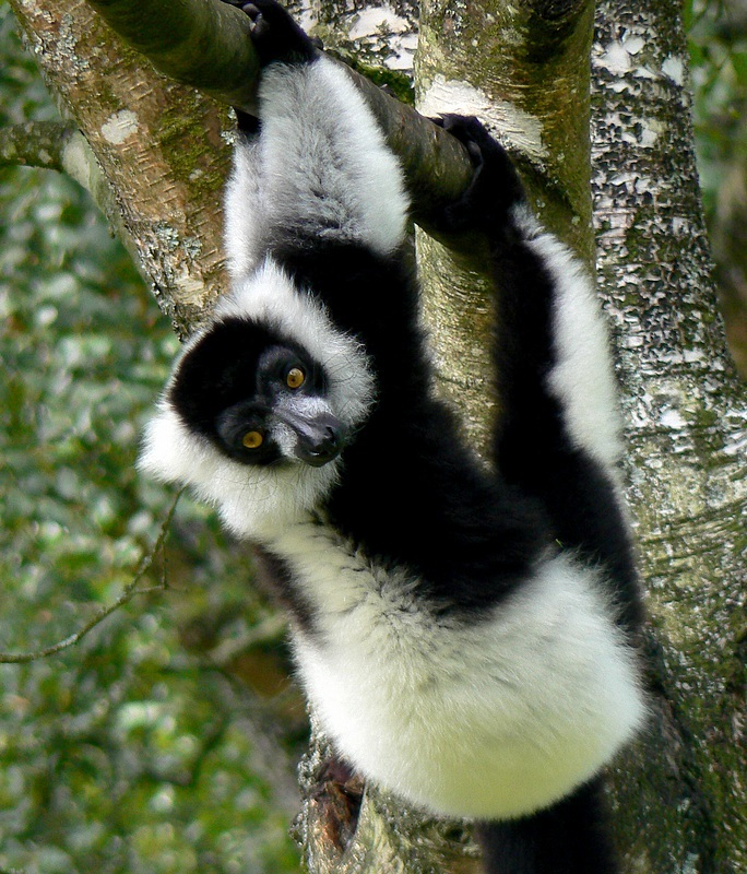 lemur on a tree