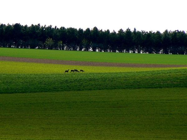 roe deers in green land