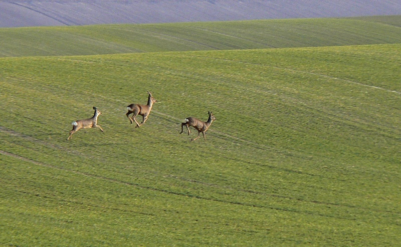 roe deers in green land 3