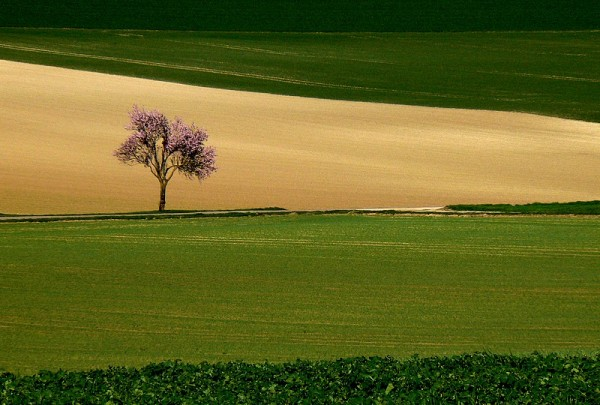 lonely blooming tree