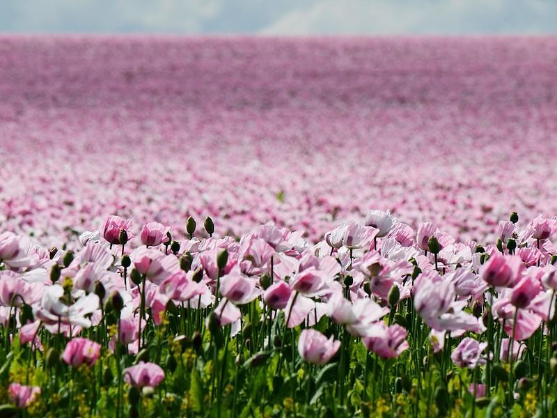 opium poppies 6/8