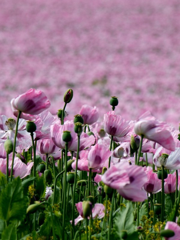 opium poppies 7/8