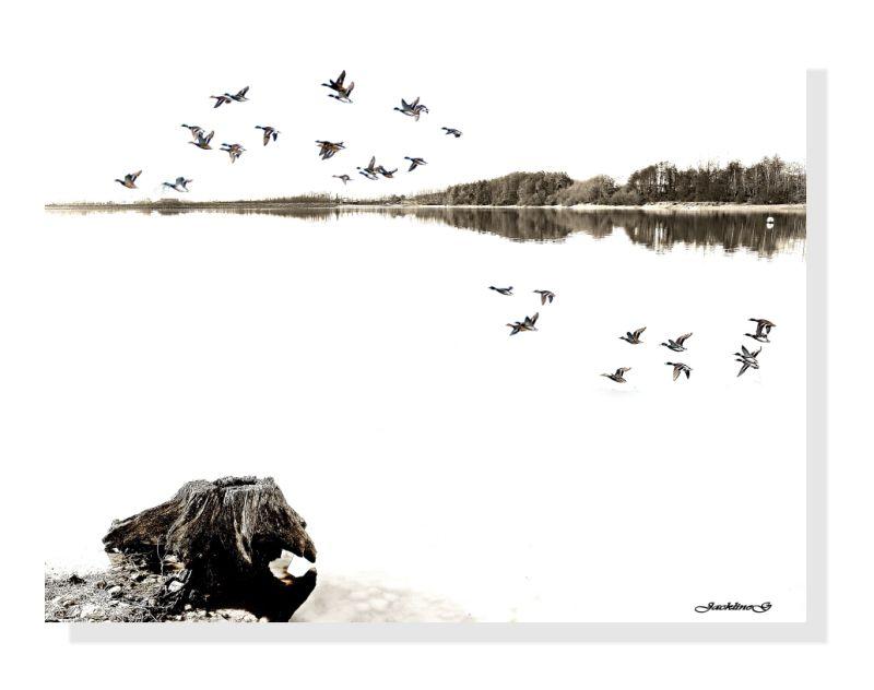 L'envol des canards  ...