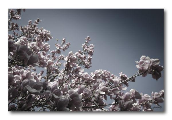 Sous le Magnolia...