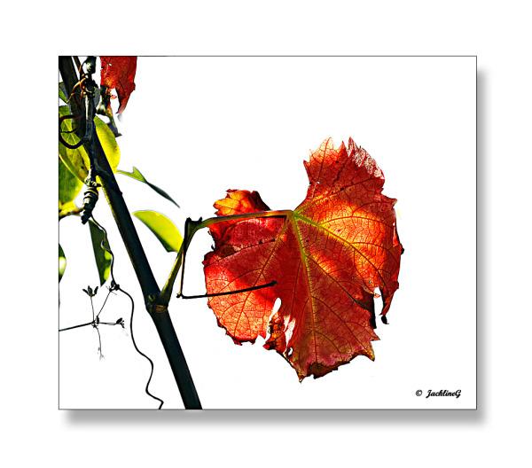 L'automne dans les vignes ...