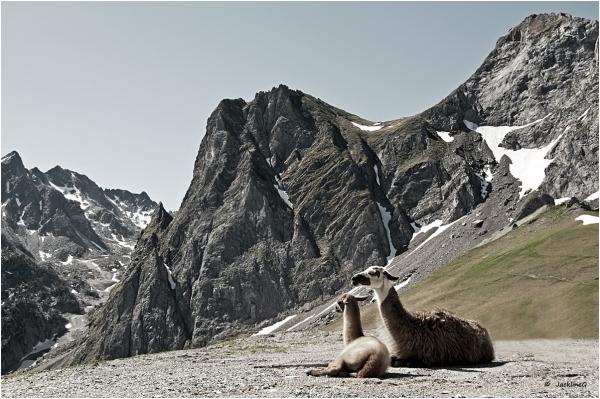 Les lamas ...
