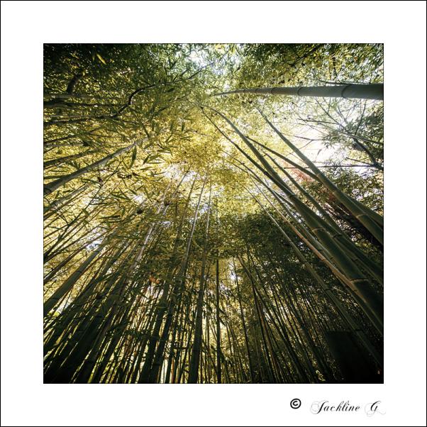 Au coeur des bambous ...