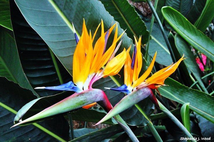 Bird of Paradise x2