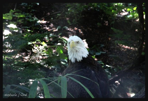 The Mighty Bald Eagle